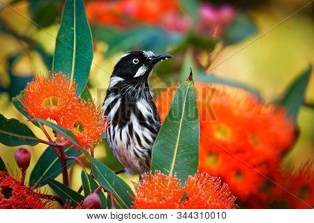 New Holland Honeyeater - Phylidonyris Novaehollandiae - Australian Bird With Yellow Color In The Win