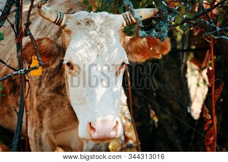 Cow With Ear Tags. Portrait Of A Bovine In The Bushes.