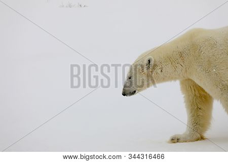 A polar bear comes up close in the wild in Churchill, Manitoba on the Hudson Bay in northern Canada.
