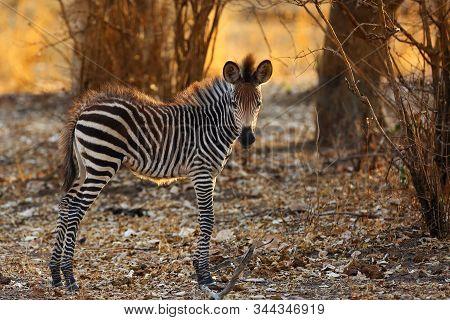 Crawshay's Zebra (equus Quagga Crawshay), Subspecies The Plains Zebra (equus Quagga Or Equus Burchel