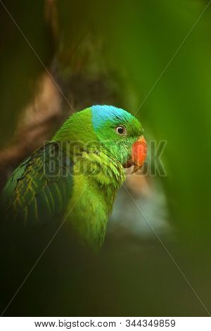 The Blue-naped Parrot (tanygnathus Lucionensis), Also The Blue-crowned Green Parrot, Luzon Parrot, T