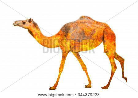 Composition About Camel Wildlife In The Australian Bushfires In 2020. Standing Camel Or Dromedary Wi