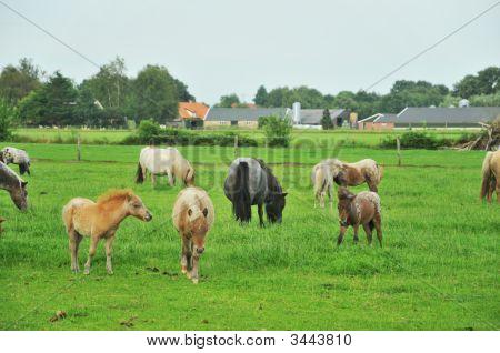 Americain Mini Horses