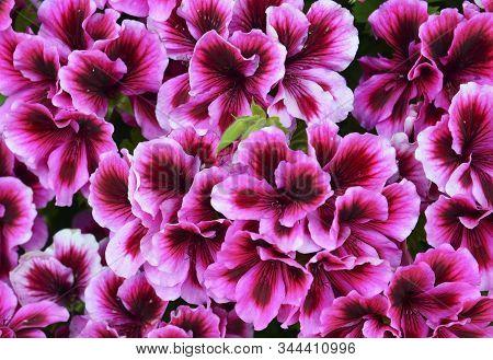 Velvet Purple Geraniums As A Background.royal Pelargonium Or Candy Flowers Bicolour Regal Geranium C
