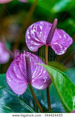 Anthurium Is A Heart-shaped Flower. Anthurium Purple. Flamingo Flowers. Anthurium Andraeanum - Arace