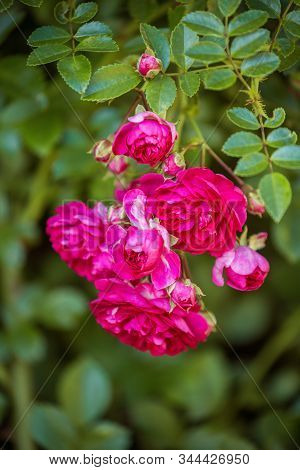 Close-up Of Branch Climbing Rose Of Old Excelsa Variety. Small Red Flowers On Background Of Green Le