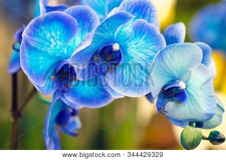Blue Flowers Closeup. Orchid Phalaenopsis Is A Genus Of Flowering Herbaceous Plants From The Orchid
