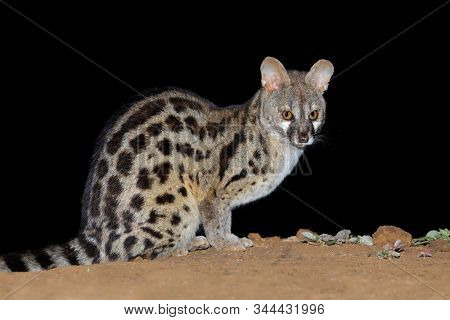 Nocturnal large-spotted genet (Genetta tigrina) in natural habitat, South Africa