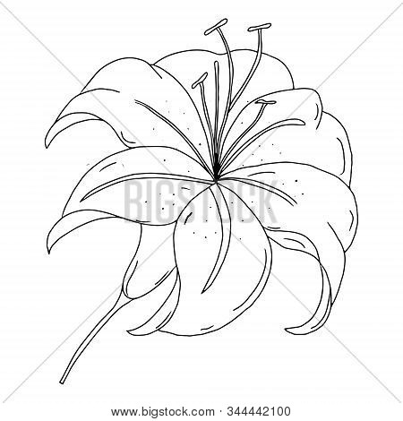 Lily Flower Outline Drawing. Black And White Image Isolated On A White Background. A Blooming Lily F