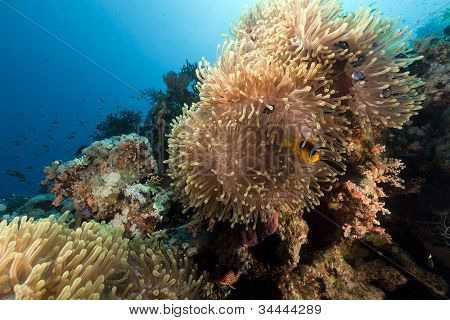 Magnificent anemone in the Red Sea . poster