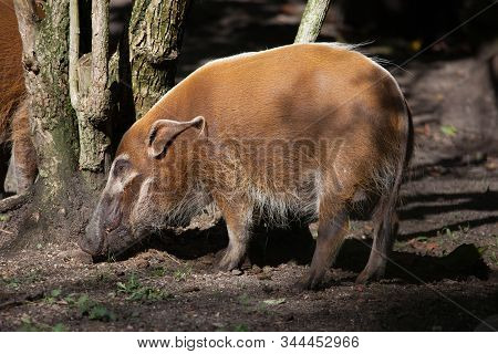 Amsterdam, Netherlands - October 3, 2016: A Red River Hog At The Artis Zoo In Amsterdam, The Oldest