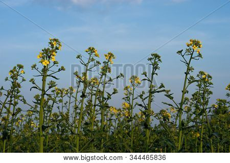 Yellow And Green Field Of Blooming Canola On A Blue Sky And Clouds Background. Brassica Napus. Brass