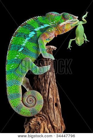 Chameleon Mouthing Frog