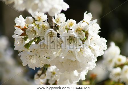 Blossom In Spring
