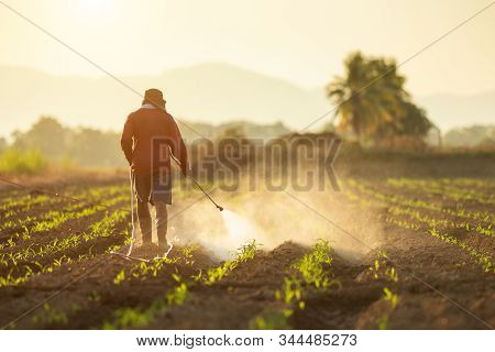 Asian Farmer Working In The Field And Spraying Chemical Or Fertilizer To Young Green Corn Field