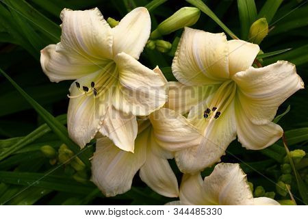 Several Large White Flowers Of A Hemerocallis Of A Grade White Dragon.