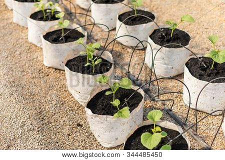 Row Of Young Green Melon Tree In White Seedling Bag