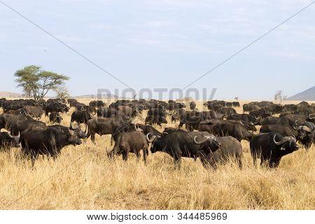 Cape Buffalo From Serengeti National Park, Tanzania, Africa
