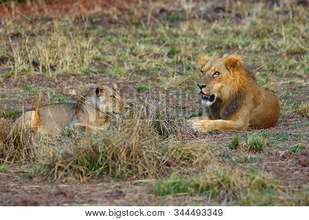 A Southern Lion (panthera Leo Melanochaita) Also As An Eastern-southern African Lion. Mating Pair Ly