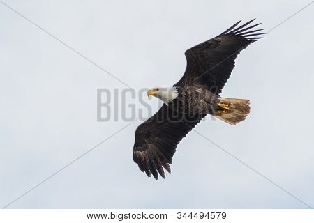 A Picture Of A Bald Eagle Flying Through The Air.   Delta  Bc  Canada