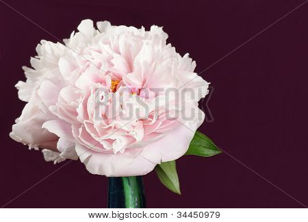 Beautiful Pink Peony Flowers Over Burgandy
