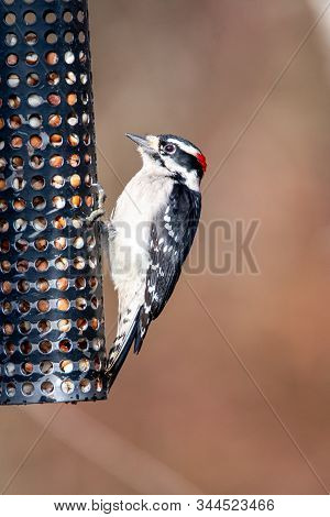 A Picture Of Downy Woodpecker  Perching On The Feeder.    Vancouver Bc Canada