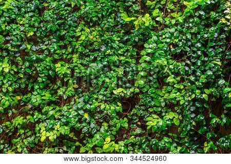 Creeping Fig Plant Growing On A Wall, Tropical Climbing Plant Specie, Vines With Many Green Leaves,