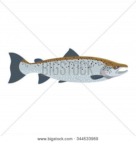 The Male Atlantic Salmon (salmo Salar) Is Isolated On The White Background.