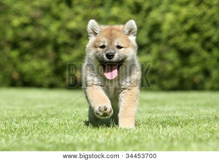Shiba Inu Puppy Running