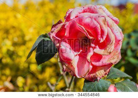 Rose Flower Burned By Frost And Sudden Temperature Changes
