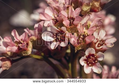 Close Up On A Tiny Flowers Of Bergenia Ciliata In The Genus Bergenia, Commonly Called Hairy Bergenia
