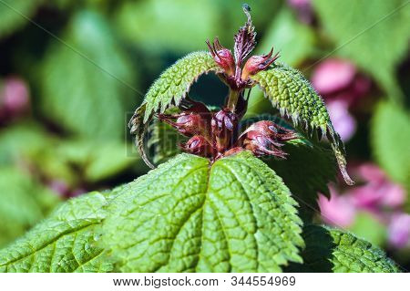 Lamium Orvala Plant Commonly Known As Balm-leaved Archangel