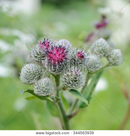 Inflorescence Of Wooly Or Downy Burdock (arctium Tomentosum)