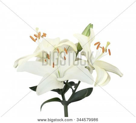 Three white lily flowers. Isolated on white background