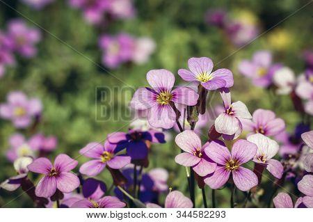 Aubrieta Deltoidea Flowering Plant In The Mustard Family Commonly Known As Lilacbush, Purple Rock Cr