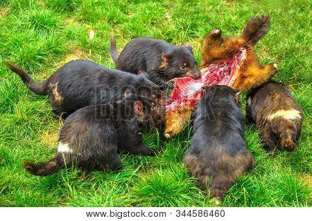 Tasmanian Devils, Sarcophilus Harrisii, Hunting Prey In Tasmania On Grass. Tasmanian Devils Is A Aus