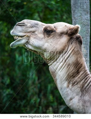 Adult Dromedary Close Up In The Forest