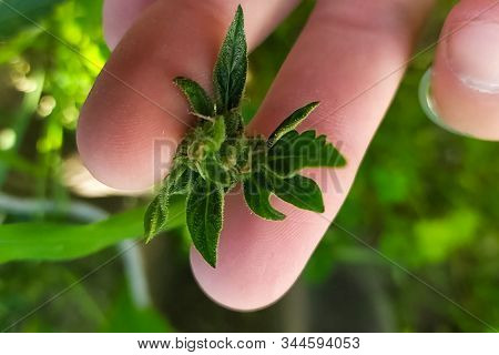 The Tips Of Cannabis Inflorescences In Cannabis In The Hands Of A Laboratory Assistant. Marijuana In