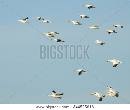 Snow Geese In Flight Over The Colusa National Wildlife Refuge, In The Sacramento Valley, California.