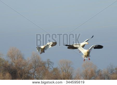 Several Snow Geese Preparing To Land At The Colusa National Wildlife Refuge In The Sacramento Valley