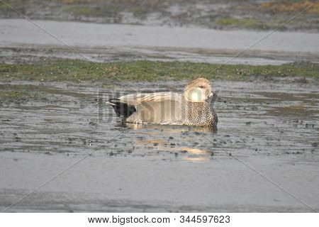 Male Gadwall Duck Swimming In The Wetlands On Whidbey Island In Washington State.