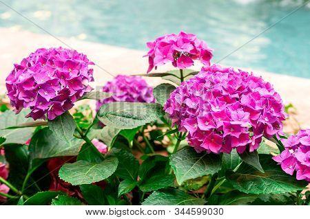 Hydrangea Common Names Hydrangea Or Hortensia Hydrangea Macrophylla. Purple Or Pink Hydrangea Flower