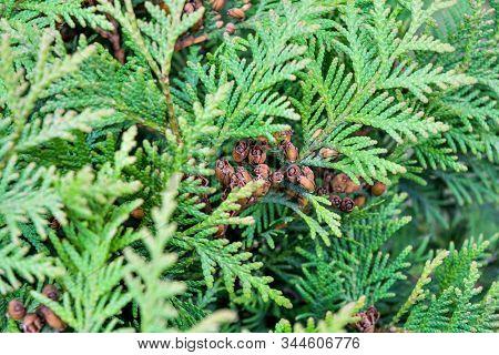 Cypress Cedar Tree Branch With Bunch Of Brown Cones. Evergreen Thuja Bush