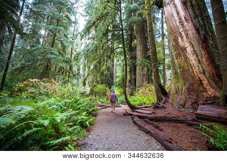 Man walking on trail in between massive redwood trees in Northern California forest, USA