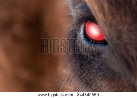Close-up On The Big The Glowing Evil Red Eye Of A Demon Or Satan, Animal, Bull, Bison, Cow Or Horse