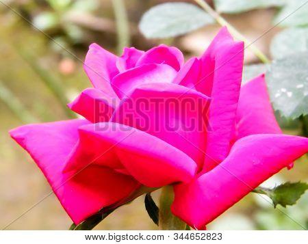 Red Garden Rose Flower On A Nature Background. Close-up. Pollen, Pink Color, Multi Layered Petal. El