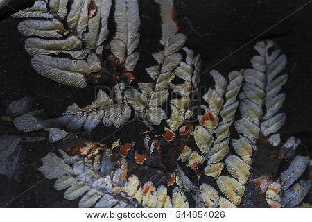 Fern Plant Fossil