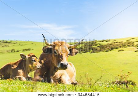 Cow And Its Baby Calf Sitting On The Grass. Baby Calf Sitting With Its Mother And Looking To The Cam
