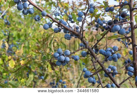 Wild Plant Prunus Spinosa Also Called Blackthorn Closeup With Blue Round Fruits  At Fall Season