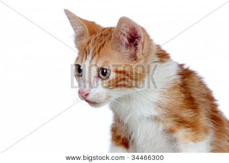 Adorable little cat isolated on white background. poster